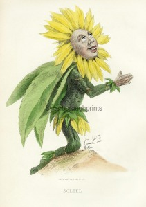The Sunflower worships the heat. This is an old French engraving showing the Sunflower face turned and worshipping the sun.